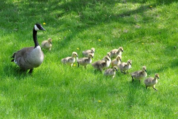Mamá pato caminando con sus patitos sobre la hierba