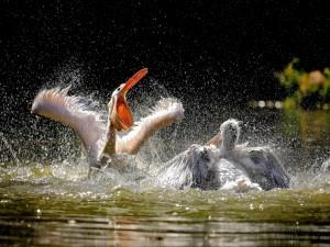 Pelícanos peleando en el agua