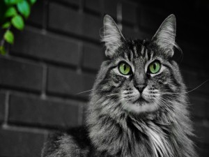 Hermoso gato de ojos verdes