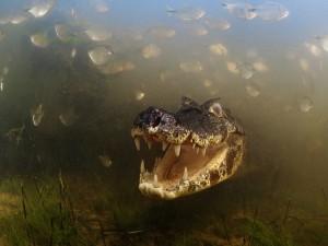 Cocodrilo con la boca abierta bajo el agua
