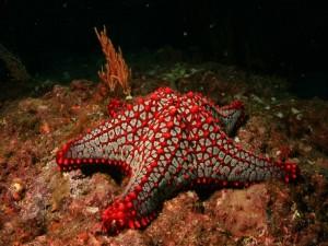 Estrella de mar en su hábitat