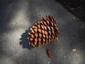 Una piña caída del árbol
