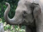 Elefante moviendo la trompa