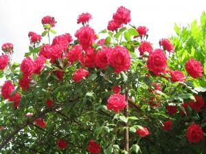 Rosal cubierto de hermosas rosas