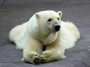 Un oso polar tumbado