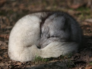 Un zorro polar dormido