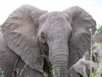 La cara de un gran elefante