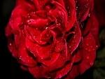 Agua sobre los pétalos de una rosa roja