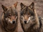Un par de lobos