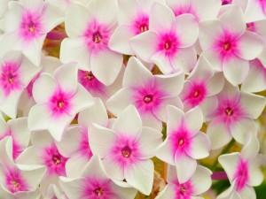 Conjunto de flores con pétalos blancos y el centro fucsia