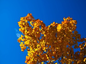 Un árbol con hojas amarillas bajo un cielo azul