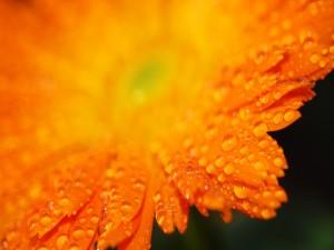 Gotas de agua sobre los pétalos de una gerbera naranja