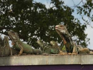 Un grupo de iguanas