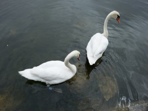 Pareja de cisnes en el agua