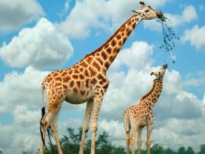 Jirafa alimentando a su cría