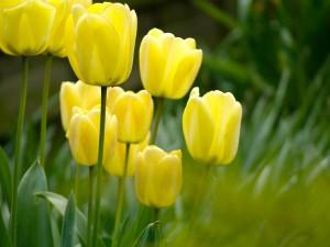 Tulipanes amarillos creciendo en el campo