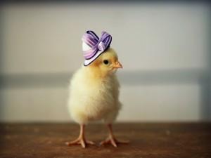 Un pollito con sombrero