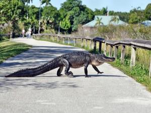 Cocodrilo caminando por un camino asfaltado