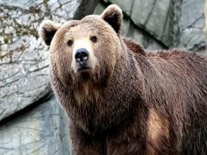 Un gran oso pardo