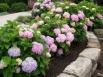 Hermosas hortensias en un jardín