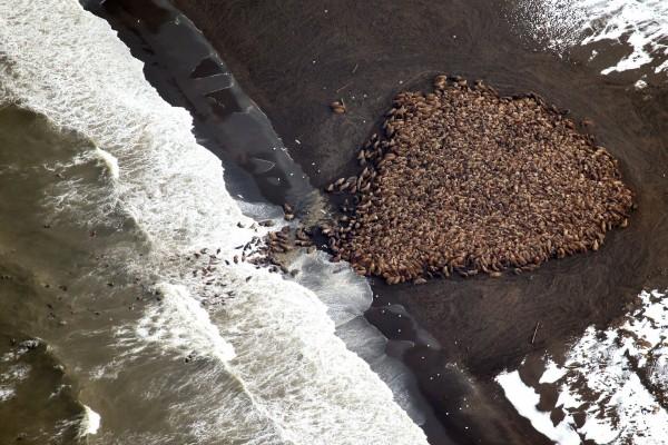 Vista aérea de una colonia de morsas en una playa
