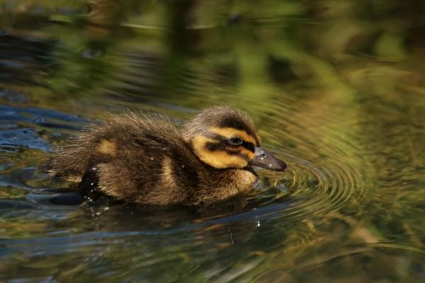 Patito nadando en el agua