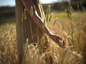 Manos tocando unas espigas de trigo