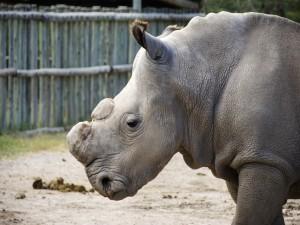 Rinoceronte sin cuernos