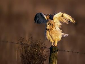 Postal: Lechuza abriendo las alas