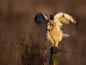 Lechuza abriendo las alas