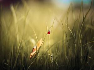 Mariquita caminando sobre una brizna de hierba