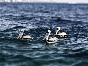 Tres pelícanos en el mar