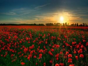 Sol brillando en un campo de amapolas