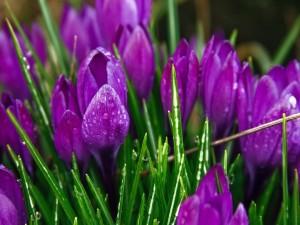 Agua sobre unos crocus de color púrpura