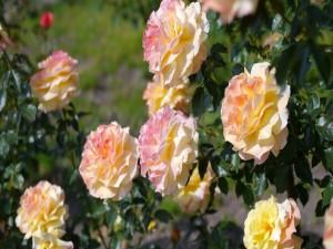 Espléndidas rosas creciendo en un rosal