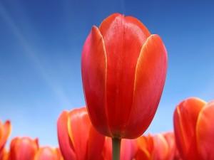 Tulipanes naranjas bajo un cielo azul