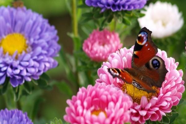 Mariposa en un jardín de dalias