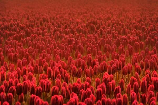 Un gran campo de tulipanes rojos