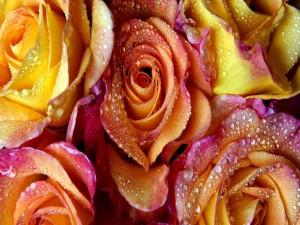Bonitas rosas con gotitas de agua