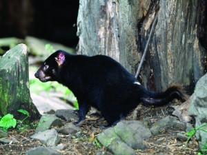 Demonio de tasmania junto a un gran árbol
