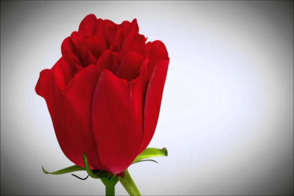 Rosa de un un intenso color rojo