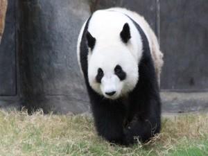 Panda gigante caminando