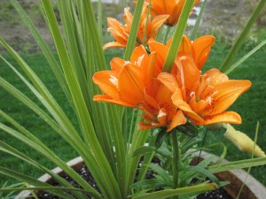 Liliums naranjas en una maceta