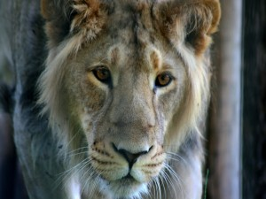 La cara de un joven león