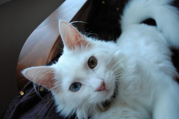 Un hermoso gato blanco con un ojo azul