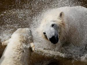 Osos polares en el agua