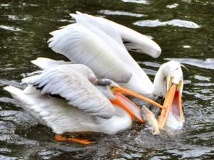 Pelícanos peleando por coger un pez
