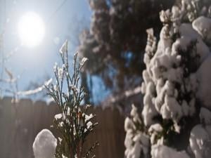 Sol derritiendo la nieve de los árboles