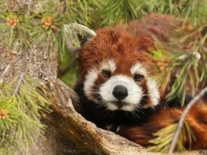Un panda rojo adormilado