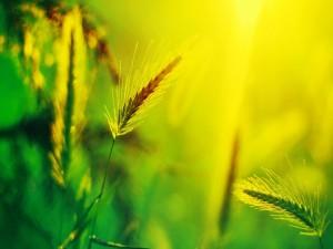 Sol sobre unas espigas de trigo